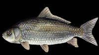 Usumacinta Buffalo Fish Pictures_Ictiobus Meridionalis