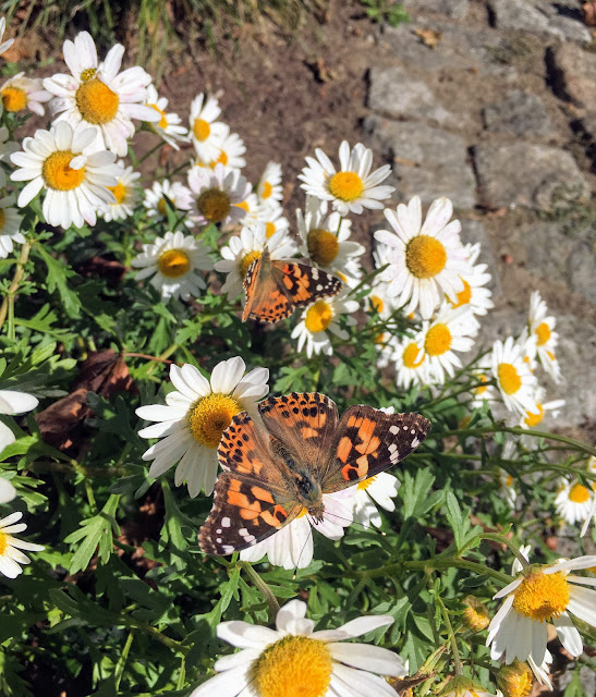 Orange and black Painted Lady butterflies feed on white and yellow shasta daisies