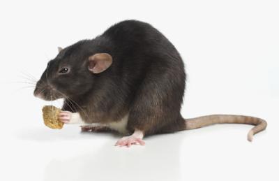 Cara Mengatasi Hama Tikus Di Sawah