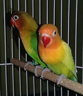 ciri-ciri lovebird stress