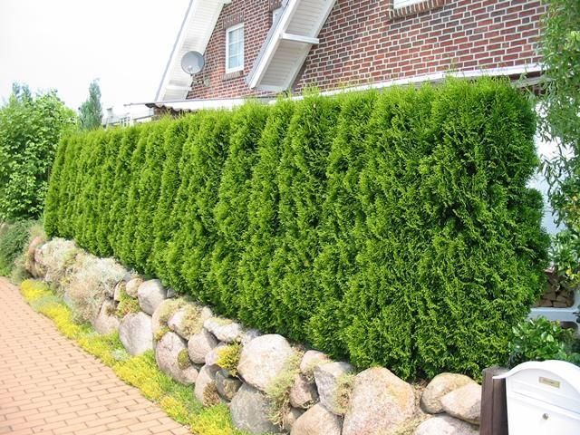 Thuja occidentalis as green fences