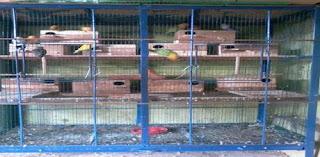 Inilah Kumpulan Kandang Ternak Lovebird Sederhana