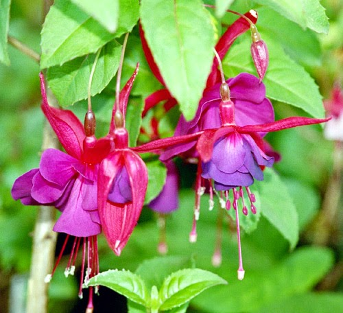 How to take cuttings from fuchsia
