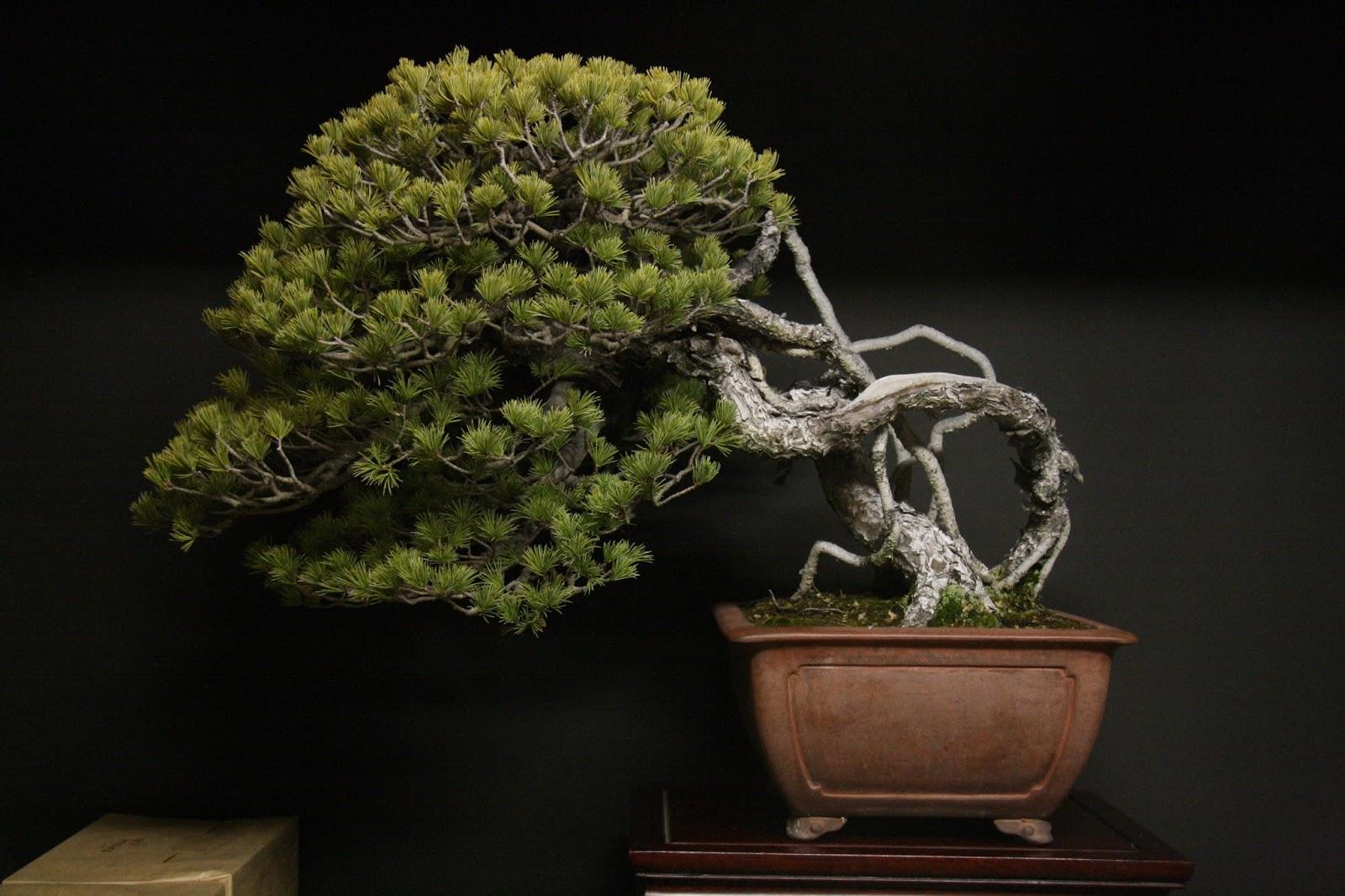 дерево бонсай виды фото расположена