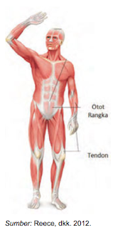 Otot Manusia : manusia, Fungsi, Jenis, Jaringan, Manusia, Permainan