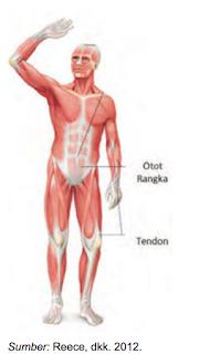 Gambar Otot Pada Manusia : gambar, manusia, Gambar, Fungsi, Manusia, Terbaru