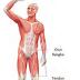 Fungsi Otot dan Jenis Jaringan Otot Manusia