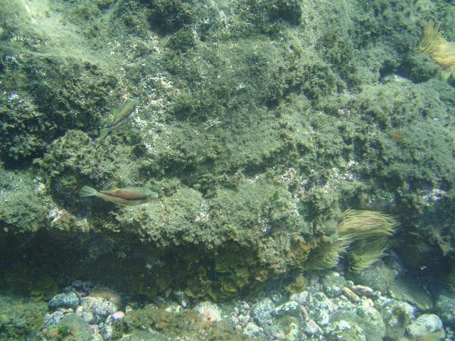 Spitzkopf-Kugelfisch - Canthigaster rostrata © Canarian Sea 03