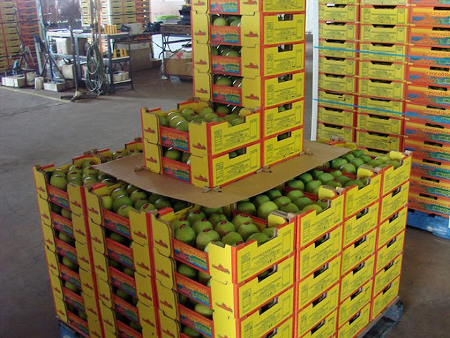 Pakistani Mango exports kick off: first consignment leaves for