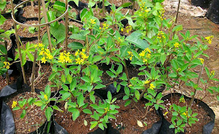 tanaman hias hujan mas berbunga sepanjang hari