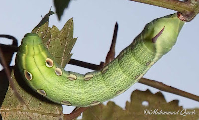 Silver-striped Hawk Moth Caterpillar