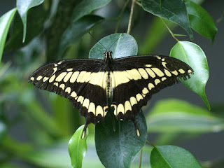 Papilio cresphontes - Grand porte-queue