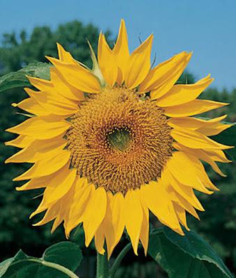 Russian Mammoth Sunflower Blossom
