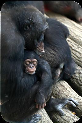 Schimpansenbaby, nur wenige Tage alt, im Zoo Leipzig | Arthurs Tochter Kocht von Astrid Paul