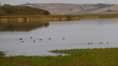 Elkwater, Cypress Hills, Alberta, animals, wildlife, Elkwater Lake