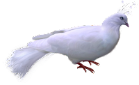 Pomba branca em png