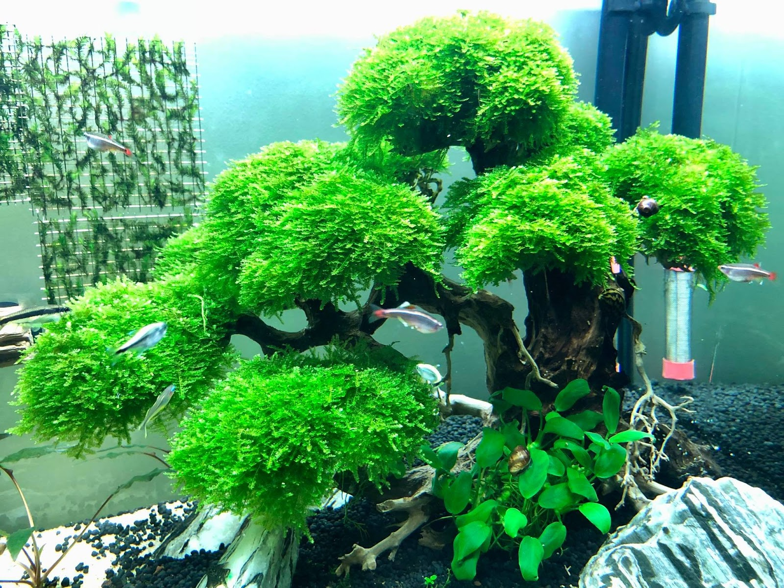 Cây bon sai buộc rêu mini taiwan tuyệt đẹp trong hồ thủy sinh của bạn Bình Bình