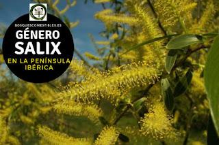 El género Salix son arboles o arbusto de hojas simples, estrechas y alargadas