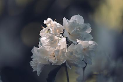 15+ Gambar Bunga Melati Cantik