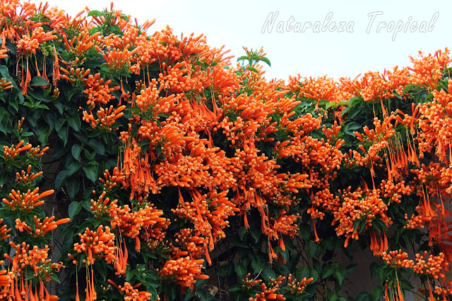 Floración explosiva de la Liana de Fuego, Pyrostegia venusta
