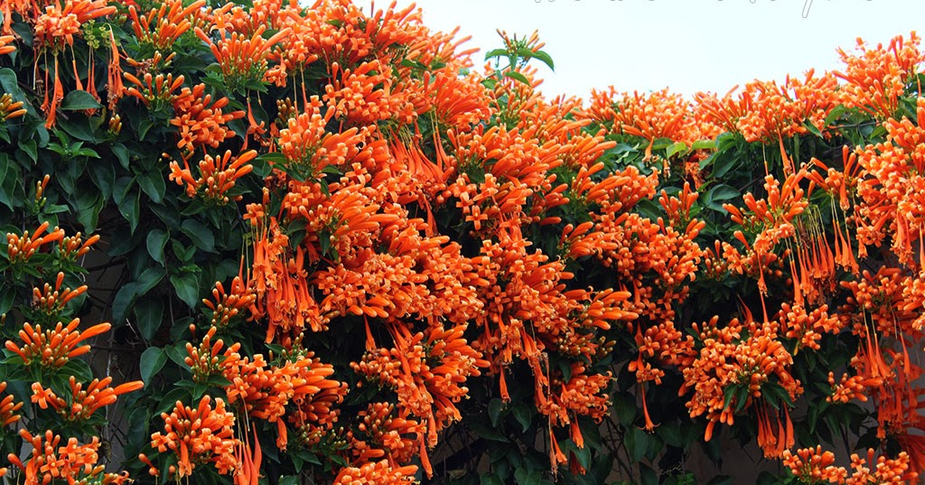 Naturaleza tropical la liana de fuego una trepadora for Fachadas con plantas trepadoras