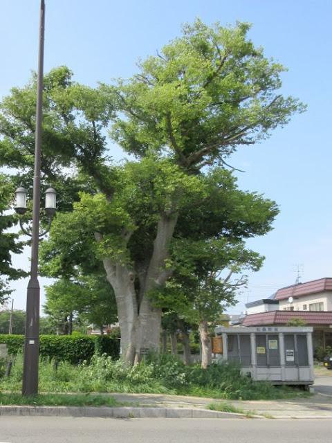 エゾエノキの大木