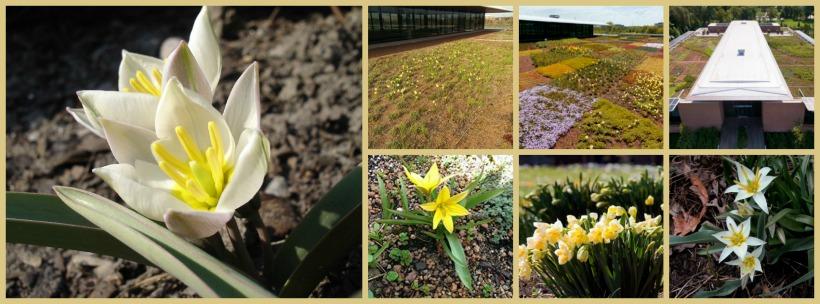 Tulipa biflora - Green Roof Garden Chicago Botanic Garden