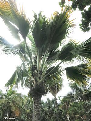 double coconut, Lodoicea maldivica in Honolulu