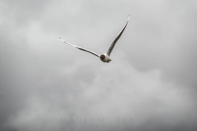 Flying towards the camera this Black-headed gull is in full flight