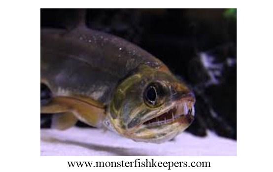 """Ini Dia Ikan Payara yang Terkenal dengan """"Si Vampir Air Tawar"""""""