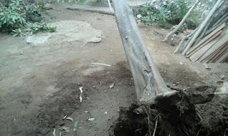 Forte ventania derruba árvore no Centro da cidade de Pedra Lavrada