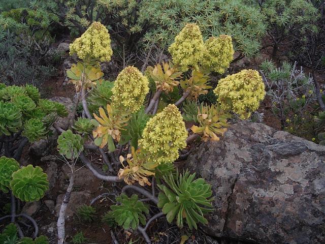 Aeonium arboreum subsp. arboreum x percarneum 10