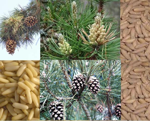 Health benefits of Pine Nuts चिलगोज़ा