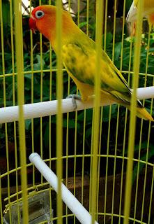 Cara Menyilang Lovebird Agar Beranak Blorok