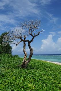 guam-tree 海辺の木
