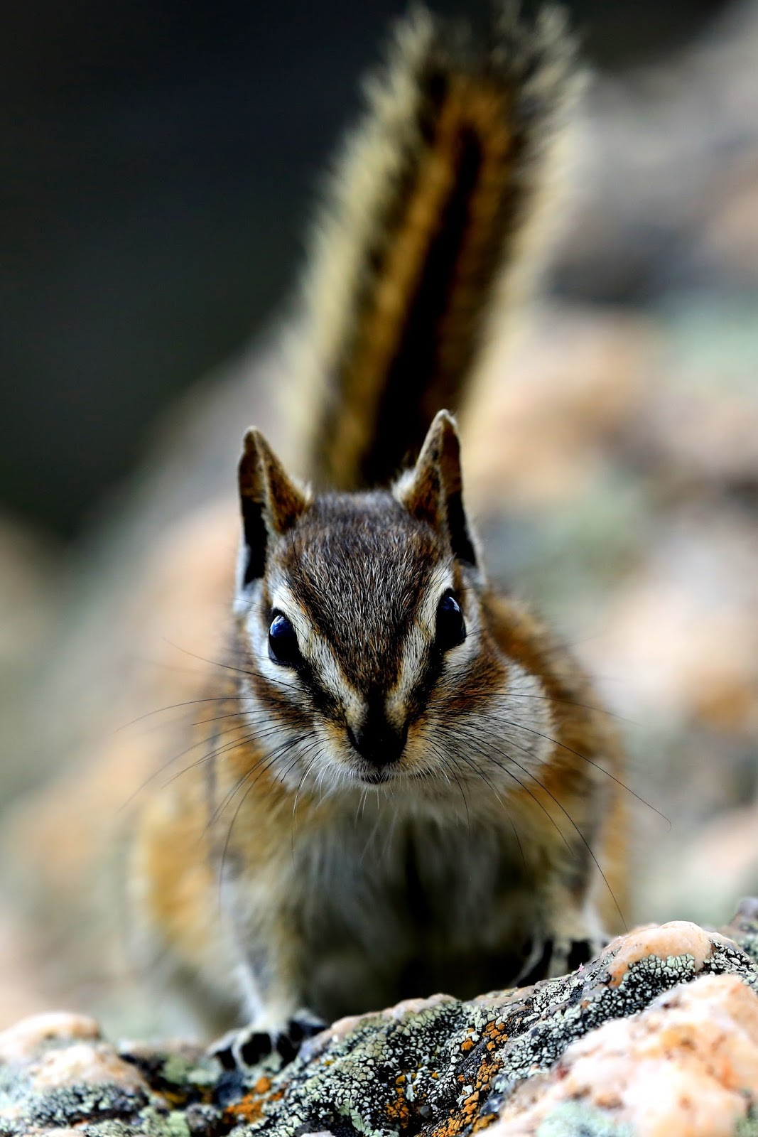 Picture of a cute chipmunk.
