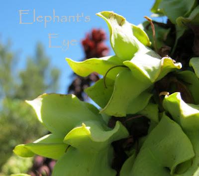 Melianthus major seeds in November