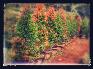 pucuk merah 2 meter