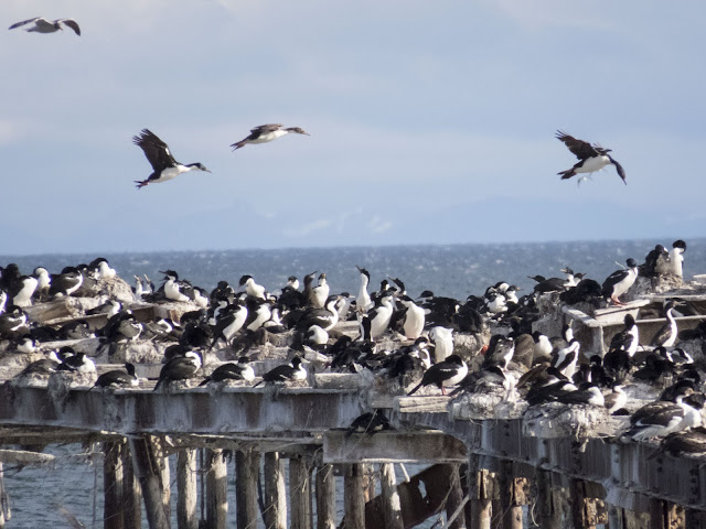 Cormorants flying above the old pier in Punta Arenas Chile