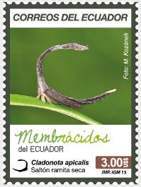 Cladonota apicalis (Saltón ramita seca)