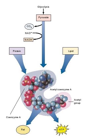 oksidasi piruvat,  asetil coenzim A (CoA)