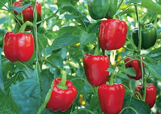 Cara Menanam Paprika Agar Berbuah Lebat