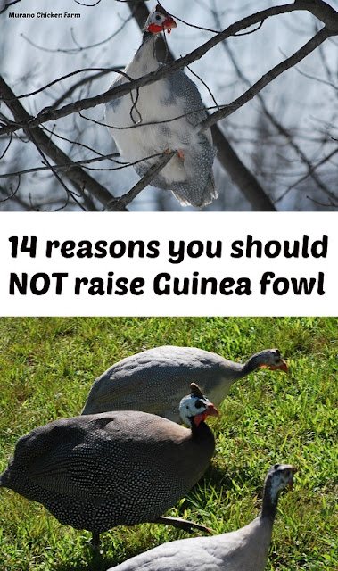 why not to raise Guinea fowl