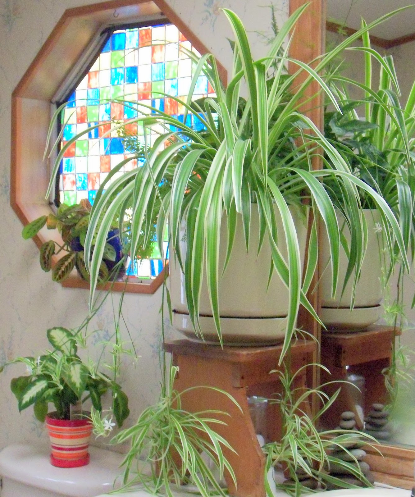 Spider Plant Cuttings: Make The Best Of Things: House Plant Fanatic