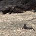 Iguana vs. Serpientes. La Mejor Persecución Jamás Filmada En La Historia De Los Documentales De Naturaleza