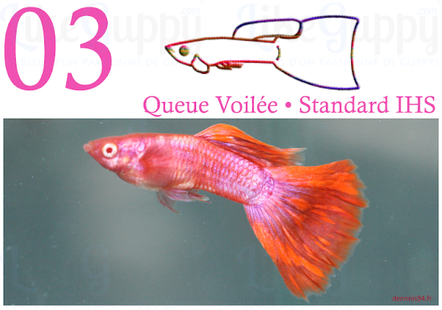 guppy-queue-voilee-standard-ihs