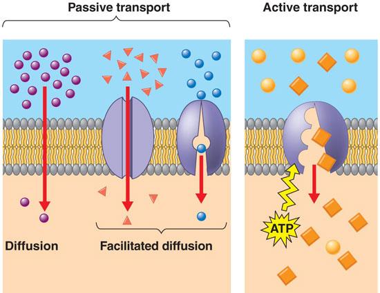 Bio Geo Nerd: Membrane Transport and Osmotic Pressure  Example Of Passive Transport