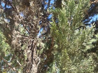 Juniperus martinezii, Perez de la rosa