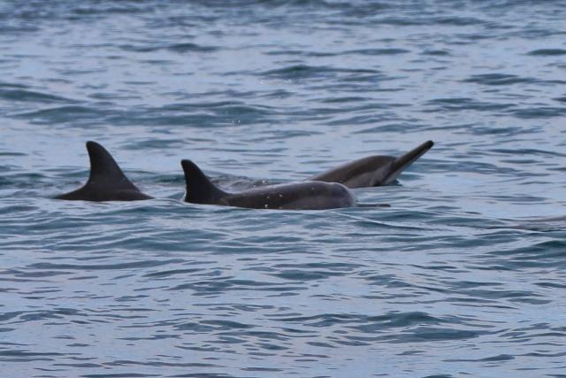 Nadar con delfines salvajes en Isla Mauricio