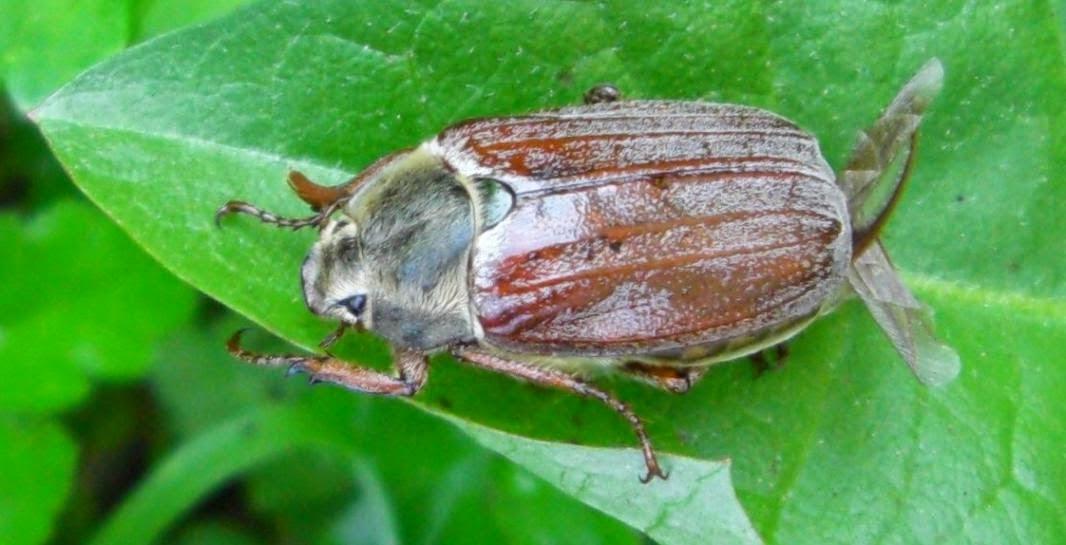 Escarabajo sanjuanero, un fitofago
